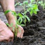 farmer planting