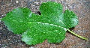 rmulberry leaf