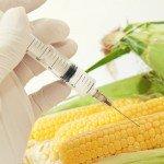gmo-needle-corn