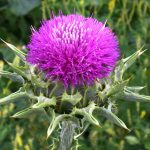milk-thistle-flavonoid-compounds