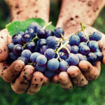 resveratrol-wine-grapes