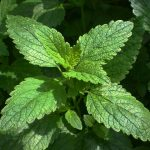 Eliminate sleep issues with the benefits of lemon balm