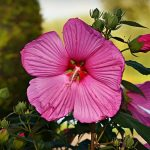 The anti-breast cancer benefits of hibiscus extract