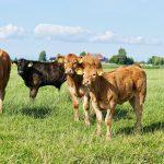 organic-milk-cows