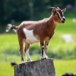 goat-with-covid-19