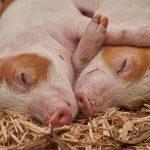pig-flu-virus